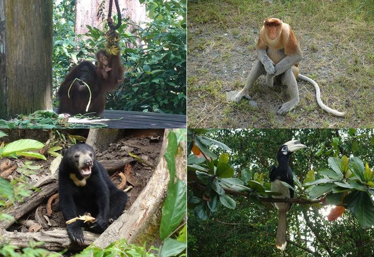 Sepilok - Orang Utan, Nasenaffen & den kleinsten Bären der Welt sehen