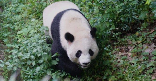 Die Pandabären in Chengdu - Das Highlight unserer Chinareise